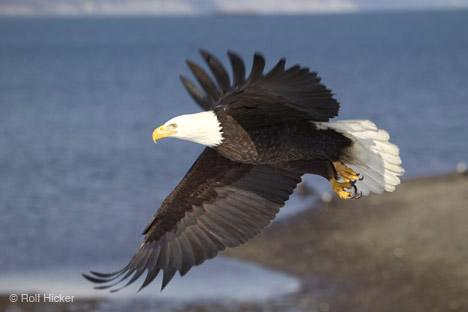 Flying_bald_eagle